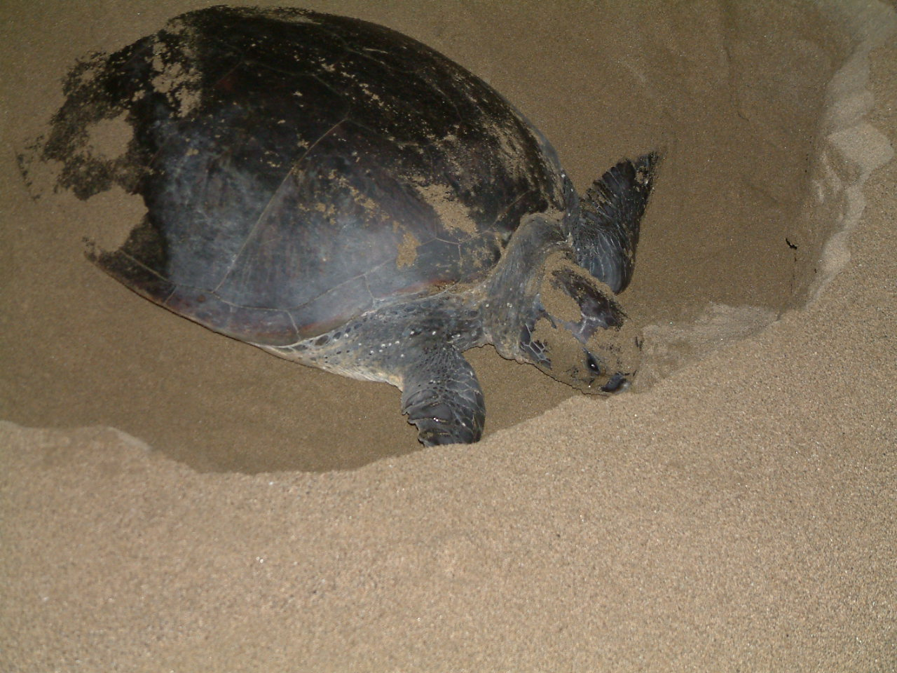 31 juli  2008 Kalibaru – Sukamade